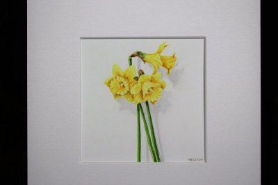 Tenby daffodill