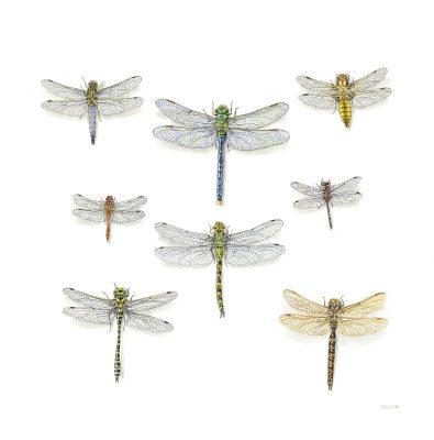 dragonflies large file
